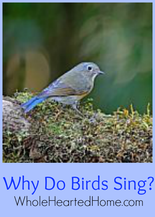 Why Do Birds Sing {WholeHearted Home}