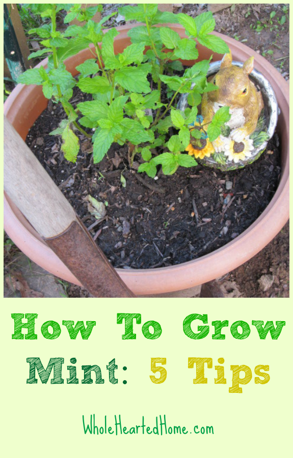 How To Grow Mint: 5 Tips {WholeHearted Home} - Most herbs are prolific and will spread over the whole garden within a couple years. That is why it is important to know how to grow mint in your garden.